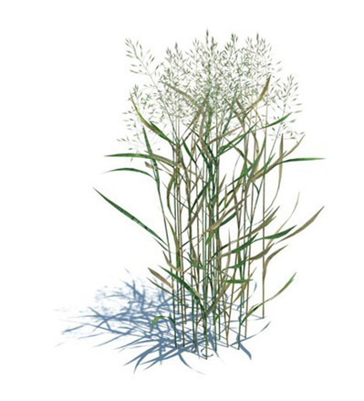 Agrostis capillaris 3D | 3D Library | Scoop.it