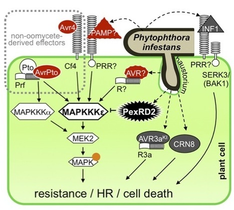Plant Cell: Phytophthora infestans RXLR Effector PexRD2 Interacts with Host MAPKKKε to Suppress Plant Immune Signaling (2014) | Plants and Microbes | Scoop.it