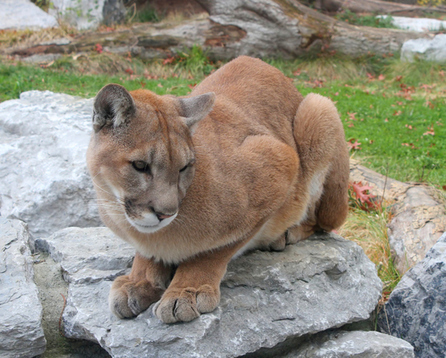 Governor Rejects Increased Cougar Hunting Quotas | Advocating for Wildlife | Scoop.it