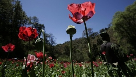 Mexico is growing 61,000 new acres of opium | Alcohol & other drug issues in the media | Scoop.it
