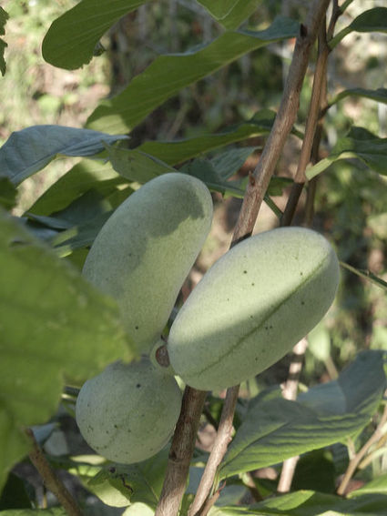 Pawpaw trees promise sweets to savor - Columbia Daily Tribune | Agricultural Biodiversity | Scoop.it