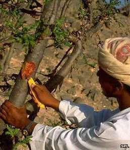 Frankincense tree facing uncertain future - BBC News | Erba Volant - Applied Plant Science | Scoop.it