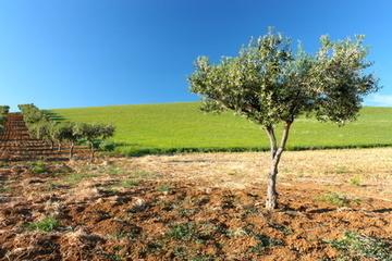 Planter un olivier quand le faire ou le plan - Quand couper un olivier ...