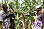 Kenya: Deadly maize disease to cut output in key bread basket | MAIZE | Scoop.it