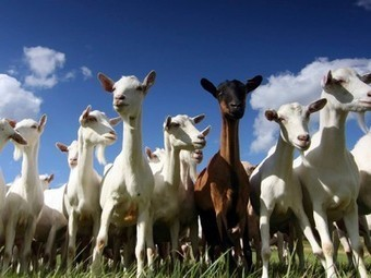 Army of goats enlisted to battle back invasive plants | Healthy Recipes and Tips for Healthy Living | Scoop.it