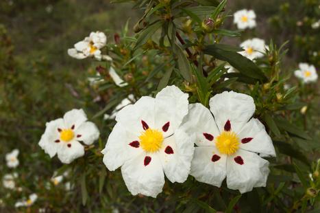 Huile essentielle ciste ladanifère (cistus ladaniferus) | Guide aromathérapie | Scoop.it