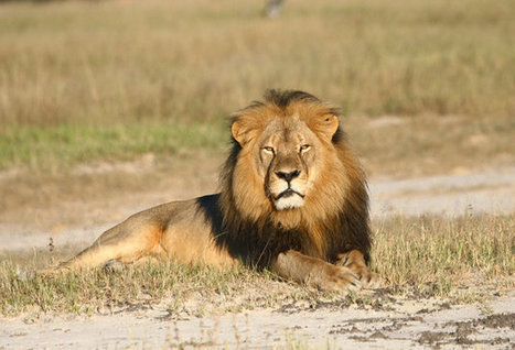 Here's Why Walter Palmer Keeps Saying He 'Took' Cecil The Lion | Google Lit Trips: Reading About Reading | Scoop.it