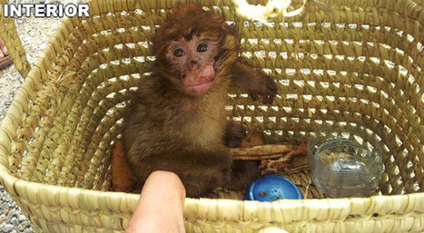 Localizado un mono 'sin papeles' | Actualidades | Scoop.it