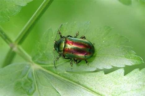 Cinco productos creados gracias a los insectos: cerebro de cucaracha antibiótico, rojo cochinilla, agallas de avispas... | mishormigas.wordpress.com | Scoop.it