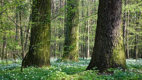 La Pologne entame des abattages dans la dernière forêt primaire d'Europe | Biodiversité | Scoop.it