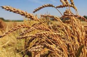 Blé : L'Egypte renoncerait aux enchères agricoles   Égypt-actus   Scoop.it