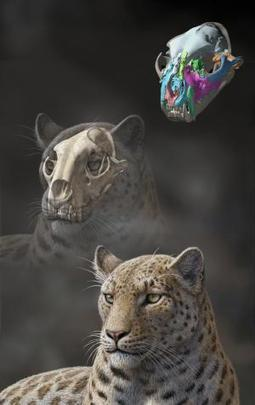 Himalayan fossils point to Asian origin of big cats - life - 13 November 2013 - New Scientist | Zoology | Scoop.it