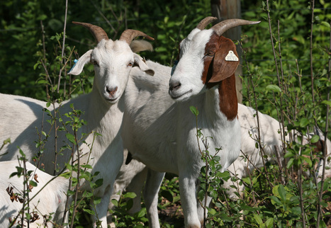 Goats help manage invasive plants at Three Rivers park | Invasive Species | Scoop.it
