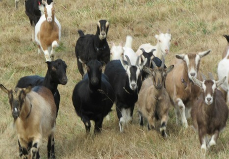 You Have Goat to be Kidding Me   Suburban Land Trusts   Scoop.it