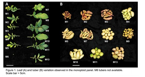 Genome reduction uncovers a large dispensable genome and adaptive role for copy number variation in asexually propagated Solanum tuberosum | Emerging Research in Plant Cell Biology | Scoop.it