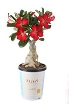 Costa Farms Releases New Desert Escape Collection | Garden Media Group | Scoop.it