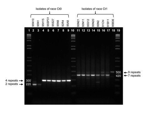 IGS Minisatellites Useful for Race Differentiation in  Colletotrichum lentis  and a Likely Site of Small RNA Synthesis Affecting Pathogenicity | Colletotrichum | Scoop.it