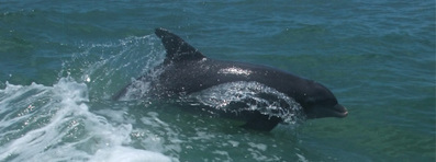 New study says Deepwater Horizon oil disaster caused fetal and newborn dolphin deaths in the Gulf of Mexico | Farming, Forests, Water, Fishing and Environment | Scoop.it
