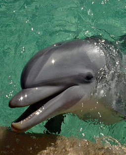 Dolphin Conservation | Dolphins: Threat Articles | Scoop.it