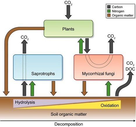 Ectomycorrhizal fungi – potential organic matter decomposers, yet not saprotrophs | bolets.cat | Scoop.it