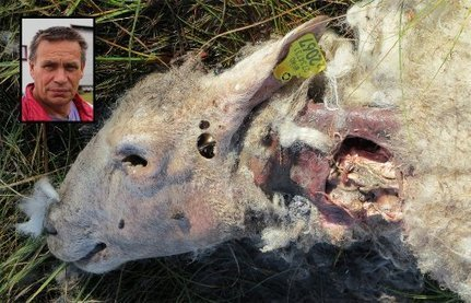 Løshund dreper sau: - Nå må politiet gjøre noe! - Nordlys   Rovdyrkonflikt2   Scoop.it