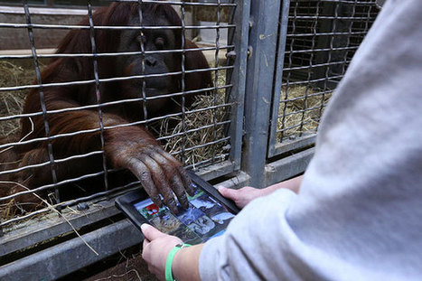 Smithsonian zoo introduces iPads to orangutans with 'App for Apes' project | DeepEducationalThought | Scoop.it