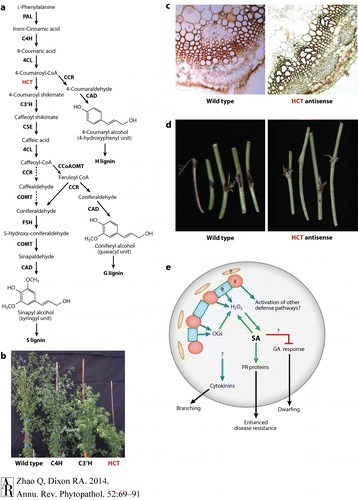 Altering the Cell Wall and Its Impact on Plant Disease: From Forage to Bioenergy | MycorWeb Plant-Microbe Interactions | Scoop.it