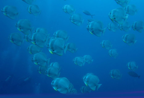 Chaloklum Diving besucht endlich den Samran Pinnacle!   Scuba Diving in Thailand   Scoop.it