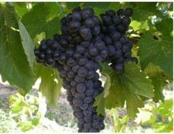 Lacrima di Morro d'Alba: the violet scented wine - I love Italy | Vinitours | Scoop.it