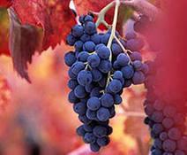 L'enologo e la vendemmia 2013 in Piemonte: Barbera e Arneis - Newsfood.com | vino | Scoop.it
