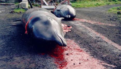 La chasse aux dauphins est ouverte au Japon - National Geographic | Zones humides - Ramsar - Océans | Scoop.it