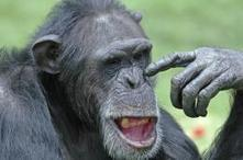 Researchers link wild chimpanzee gestures to language evolution | Aux origines | Scoop.it