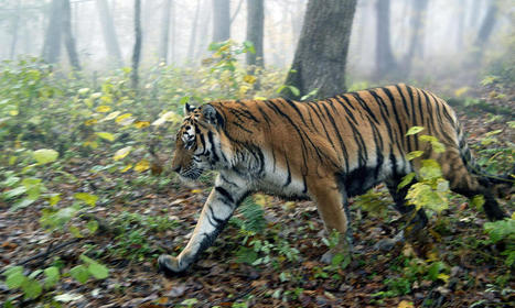 Amur Tiger Habitat Threatened by Illegal Logging of Russian Forests | Stories | WWF | Wildlife and Environmental Conservation | Scoop.it