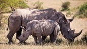 Convicted rhino poacher sentenced to 21 years | Getaway Travel Blog | My Funny Africa.. Bushwhacker anecdotes | Scoop.it