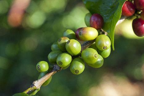 Where Do Coffee & Tea Grow? | Handloom Blog | 9 SOSE Farm to Fridge Food Investigation | Scoop.it