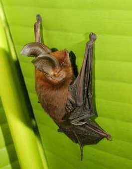 The Most Bizarre Bats | Amazing Things | Scoop.it