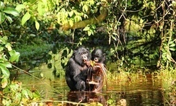 Bonobos have mastered the art of babytalk, new research shows | enjoy yourself | Scoop.it