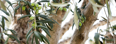 #Cretan #Oilve Oil #history | The Monumental Olive Tree of Vouves | Extra Virgin #OliveOil | Scoop.it