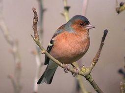 Des pinsons dans le frigo du resto - Actualité - LPO (Ligue pour la Protection des Oiseaux) | Sauvegarde et Protection des animaux | Scoop.it