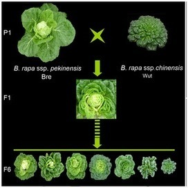 PLOS ONE: QTL Mapping of Leafy Heads by Genome Resequencing in the RIL Population of Brassica rapa | Plant Breeding and Genomics News | Scoop.it