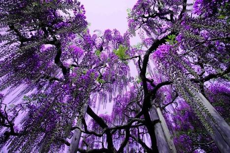 Ashikaga Flower Park, Japan | Harmony Nature | Scoop.it