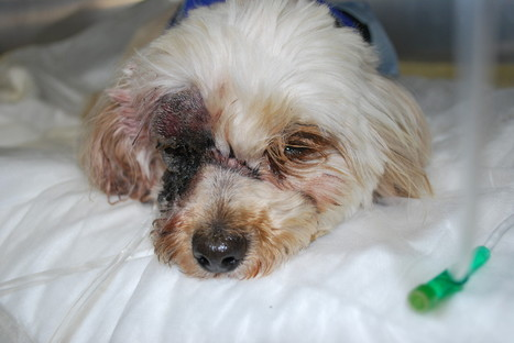 Poodle Bit In Face By Rattlesnake, Survives Respiratory Arrest - Huffington Post | My Dog Boarding House | Scoop.it