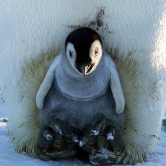 Un pied dans le printemps #Antarctique #DDU #TAAF #manchot | Arctique et Antarctique | Scoop.it