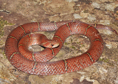Researchers discover new species of wolf snake in Cambodia, name it after an Australian zoo | Paneco Press: Species Watch | Scoop.it