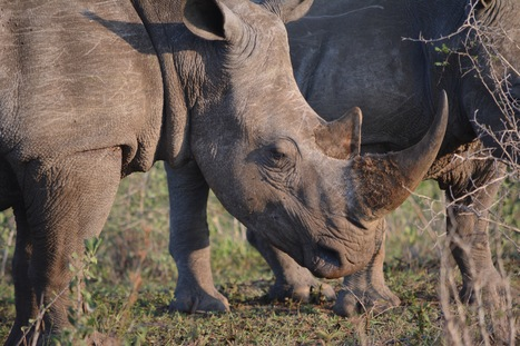 Justice for Rhinos—When Will It Come? | What's Happening to Africa's Rhino? | Scoop.it