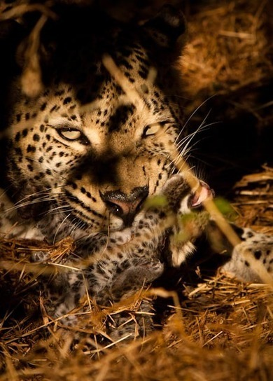 Legadema loses cub to large male leopard | Africa Geographic Magazine Blog | Kruger & African Wildlife | Scoop.it