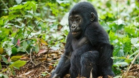 10 Things You Didn't Know About Mountain Gorillas | Natural History, Environment, Science, and Technology | Scoop.it