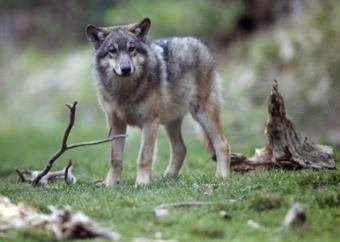 Mon été en mode écolo. Le loup est de retour en France. Qui est ce grand prédateur ? | Loup | Scoop.it