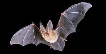Los murciélagos - Animales | El reino animal U.E.F. Fray B. de las Casas S. | Scoop.it