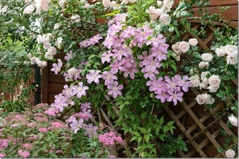 Top Tips For Success With Clematis | Gardening | Scoop.it
